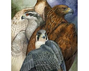 Four North American Raptors - Eagle Hawk and Falcon Print
