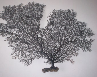 Sea Fan dyed Black color  (Ea).