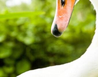 Swan contours 1 - Fine Art Photography - Wall Décor - Nature Photography - 7x5 Print
