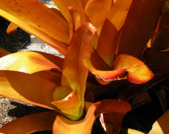 Bromeliad (Aechmea Blanchetiana); 'Giant Orange' - Live Plant/New 'Pup' + FREE Gift Cutting
