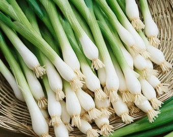 Tokyo Long White Bunching Heirloom Onion Seeds Non-GMO Naturally Grown Open Pollinated Gardening
