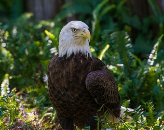 Bald Eagle; Blank Photo Greeting Card