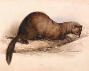 "Edward Lear : ""A Weasel"" (1832) - Giclee Fine Art Print"