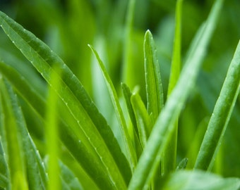Cat Grass - Heirloom - 25 Seeds