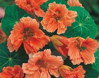 Nasturtium 'Apricot Trifle' Seeds / Tropaeolum majus