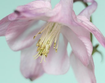 Aquilegia Picture Flower Photography, Flower Photo, Fine Art Print, Pink Flower Floral Photography