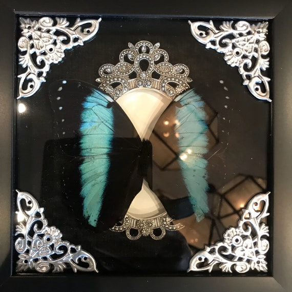 Real black banded blue morpho butterfly taxidermy display