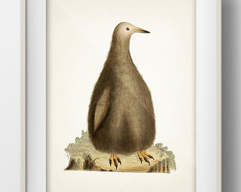 Wooly Penguin - BI-19 - Fine art print of a vintage natural history antique illustration