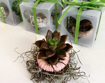 Set of 25 small sea urchin succulents favors beach wedding favors  -beach party-shower-engagement- destination wedding
