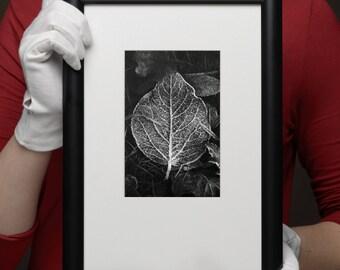 Autumn leaf. Silver gelatin darkroom print
