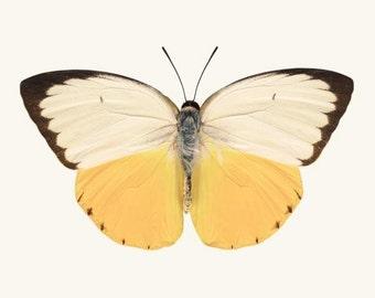 Yellow Butterfly, Wall Art Print, Fine Art Photography Print, Large Wall Art, Natural History Print, Nature Art, Insect Art, Butterfly Art