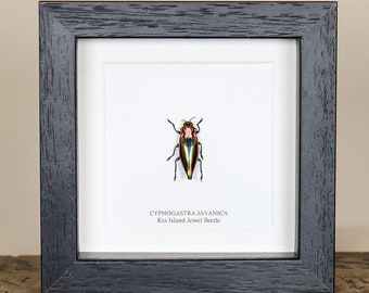 Rainbow Jewel Beetle in Box Frame (Cyphogastra javanica)