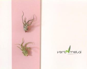 "Air plant (Tillandsias, air plant) vegetable painting 5 ""x 14"" - plants snap on painted steel frame"