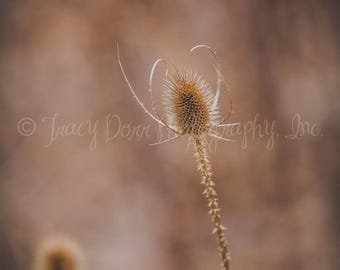 INSTANT DOWNLOAD - sepia toned Teasel Plant photograph - high resolution - country, vintage