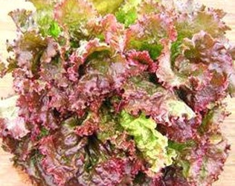 Red Sails Leaf Lettuce Heirloom Garden Seed Non-gmo 300+ Seeds Gourmet Fast Growing Heat Tolerant Slow to Bolt Open Pollinated Gardening