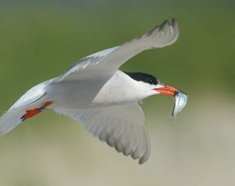 Framed Common Tern