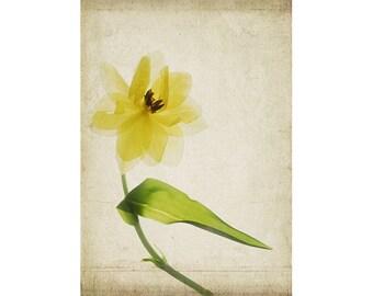 Yellow Tulip Botanical Print, 12 x 16 Iris Poster, Cottage Chic Decor, Scanner Art,  Flower Photography, Sheer X-Ray