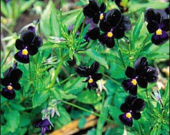 Viola - Bowles Black - Heirloom - 25 Seeds