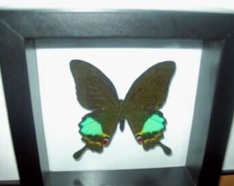 Karna Swallowtail Butterfly