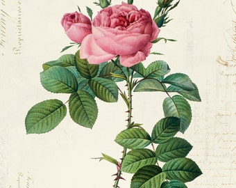 Vintage Botanical Floral on French Ephemera Print, Vintage Rose Print 8x10 P313