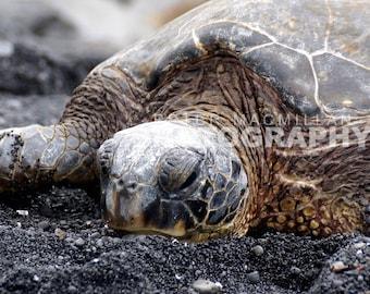 Giant Sea Turtle on Volcanic Ash Beach - Hawaii