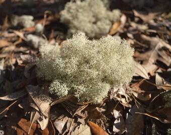 All Natural Unaltered Deer Moss Lichen