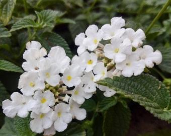 Trailing White Lantana Plant