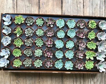 Bundle of 50 - Rosette Live Succulents