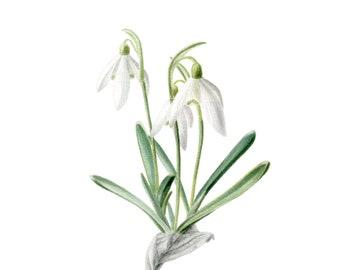 Snowdrops original watercolour painting, white flowers, Botanical illustration, Wall art, Botanical painting Floral illustration aquarelle