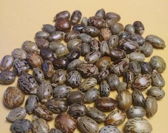 25 Beautiful Castor Beans (Ricinus Communis, Palm of Christ, Palma Christi, Moles