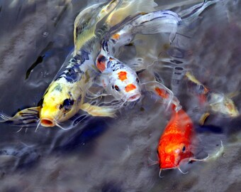 Koi fish frenzy, koi, fish, pond,