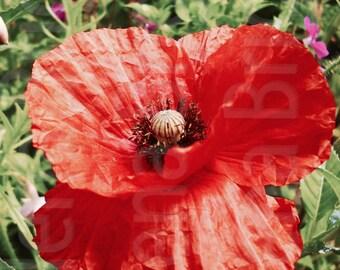Poppy Wall Art, Poppy Print, Poppy Poster, Poppy Photography, Poppy Art, Poppy Art Print, Poppy Artwork, Poppy Decor, Poppy Home Decor
