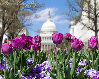 Capitol in Frühlings - Landschaft Print (verschiedene Größen) - Washington, D.C., lila Tulpen blühen, Blumen, Denkmäler, National Mall