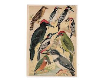 1904 birds original antique ornithology print color lithograph - exotic birds - kingfisher