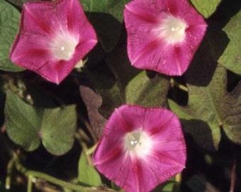 Crimson Rambler Morning Glory Flower Seeds / Ipomoea / Annual  35+