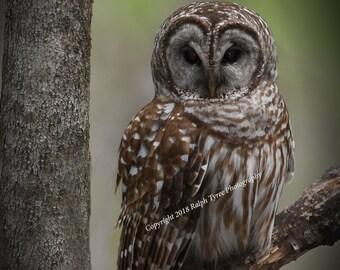 Barred Owl # 5613