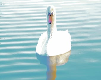 printable file is 13 X 18, A4, A3, wild.download A2.the swan, minimalism, nature color photography.