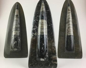 Orthoceras Fossil Sculpture