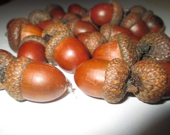 10 big acorn for decoration. Natural acorns from the forest. Lacquered acorns for different decorations.