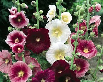 HOLLYHOCK Seeds (mixed colours)