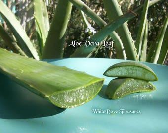 """L'Aloe Vera Leaf ~ 8""""-19» feuilles entières ~ Gel d'Aloe Vera ~ soins de la peau ~ Aloe Vera plante ~"""