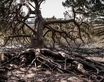 Tree Photography, Oak Tree Roots, Nature Photography, Georgia Coast, Saltwater Swamp, Cthulhu Tree, Large Landscape Print