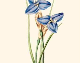 Vintage Purple Iris Flower Print 8x10 P242