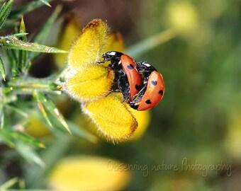 ladybird love Fine Art Photography Download