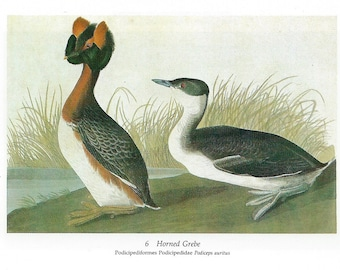 Audubon Horned Grebe or Great Crested Grebe for Framing, Collage, Decoupage, Scrapbooking, Paper Arts, Assemblage and MORE PSS 2825