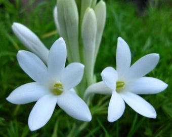 Wild Tuberose and Jasmine Scented Products Shower Gel, Whipped Body Butter, Lotion, Body Spray, Bath Soak, Shampoo or Conditioner