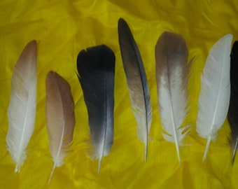 Pigeon feathers for crafting