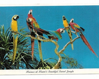 Vintage Florida Chrome Postcard Miami Macaws at Beautiful Parrot Jungle USED