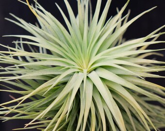 LARGE Air Plant Tillandsia Stricta Stiff Gray, Hanging Air Plant, Rare Succulents Wholesale Air Plants Bulk, Indoor Plants Desk Accessories