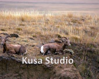 Downloadable Print Bighorn Sheep Photograph